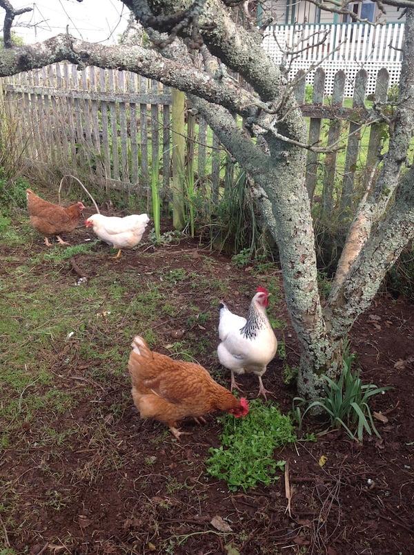 Hens enjoying chickweed