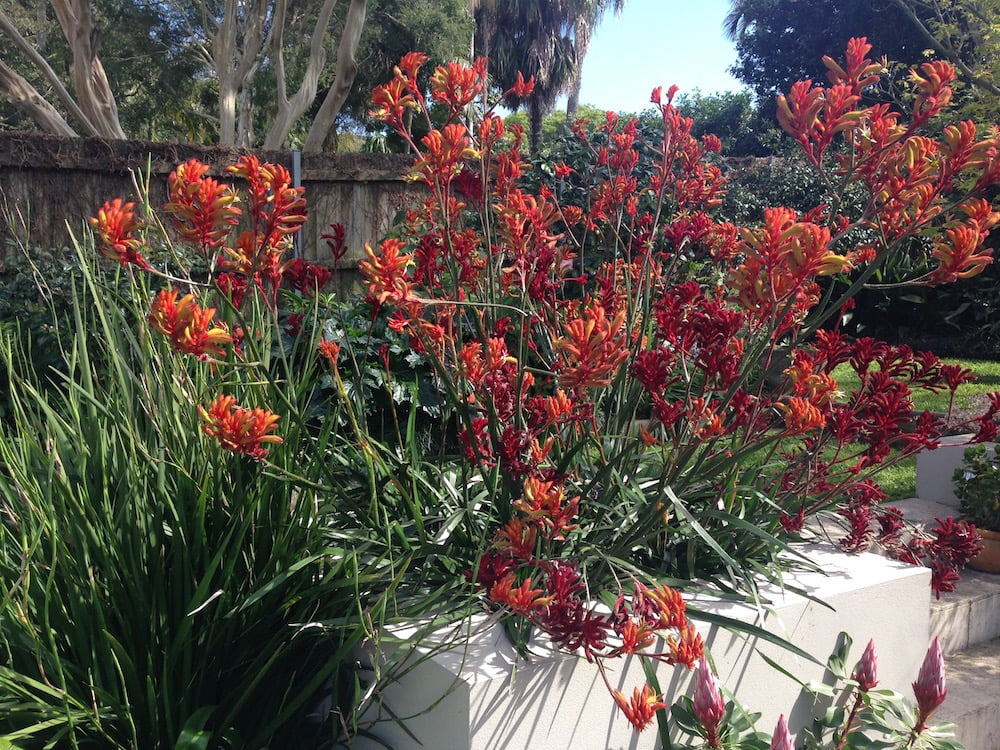 Kangaroo paws flower all year round in my garden; they really do tick every box. Photo: Janna Schreier