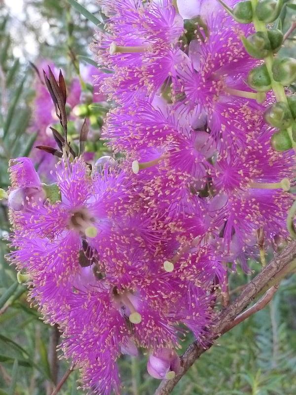 Stunning colour on Melaleuca fulgens (hot pink)