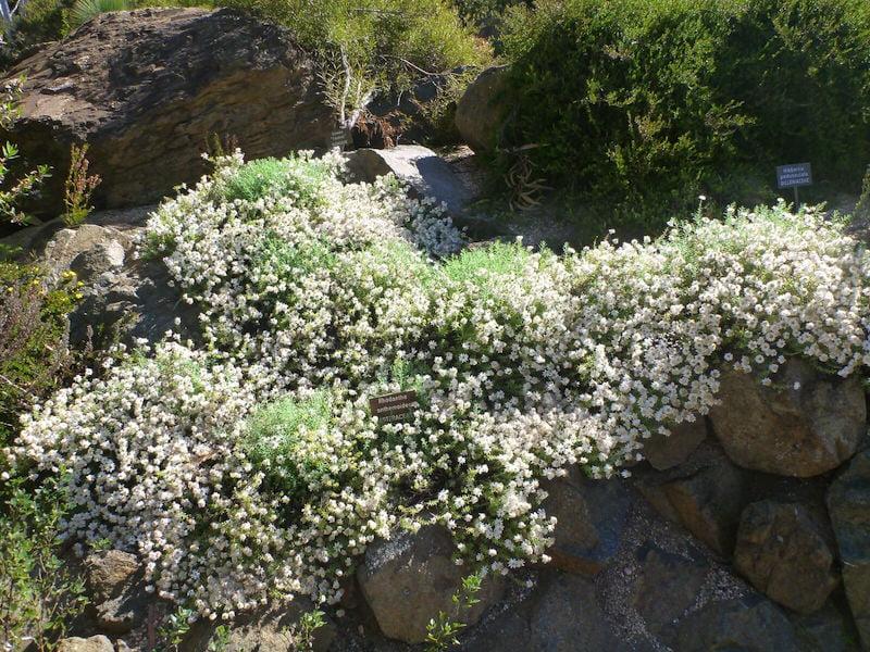 Rhodanthe anthemoides