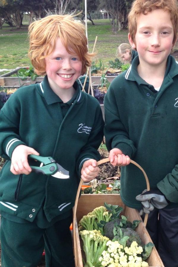 Riddells Creek Primary School harvesting cauliflower