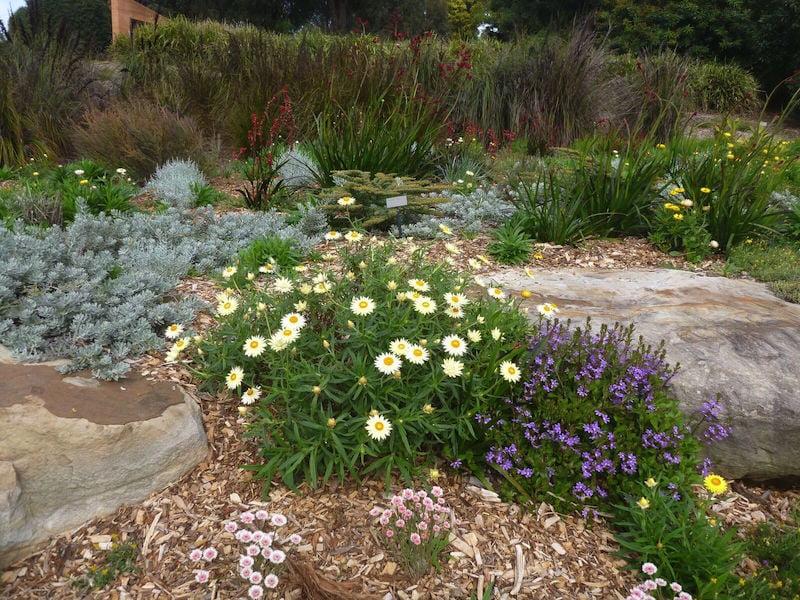 Xerochrysum bracteatum with Eremophila glabra 'Kalbarri Carpet', fanflower and kangaroo paw