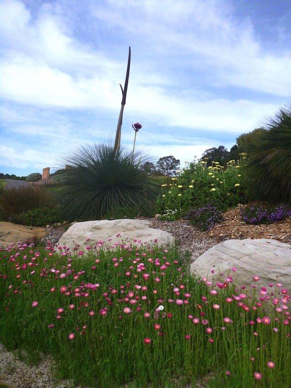 Wildflower meadow at Mt Annan Botanic Gardens NSW Rhodanthe chlorocephala Xerochrysum bracteatum