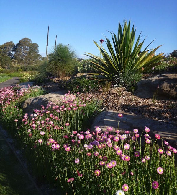 Wildflower meadow at Mt Annan Botanic Gardens NSW pink everlasting daisy Rhodanthe chlorocephala with Doryanthes excelsa