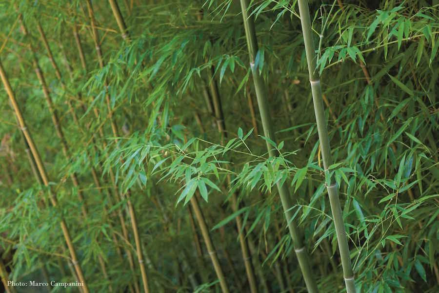 Bamboo. Photo Marco Campanini