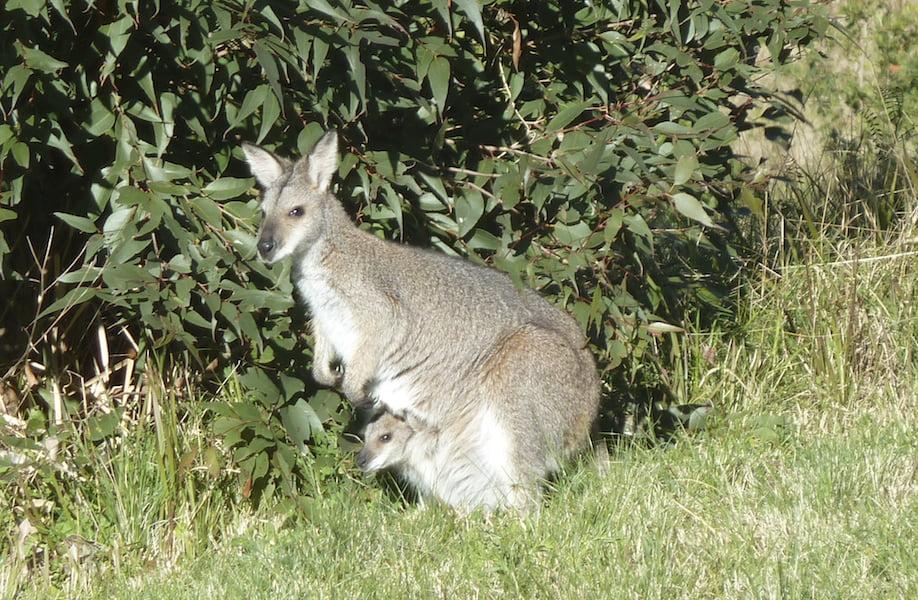 Regular kangaroo and wallaby visitors enjoy the mown grass