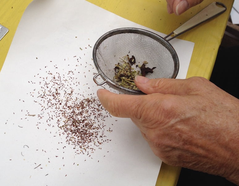 separating seed from the dried flowers