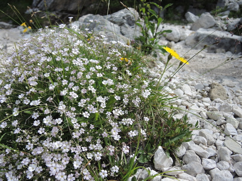 So many hard to identify small white flowers – Cerastium or arenaria