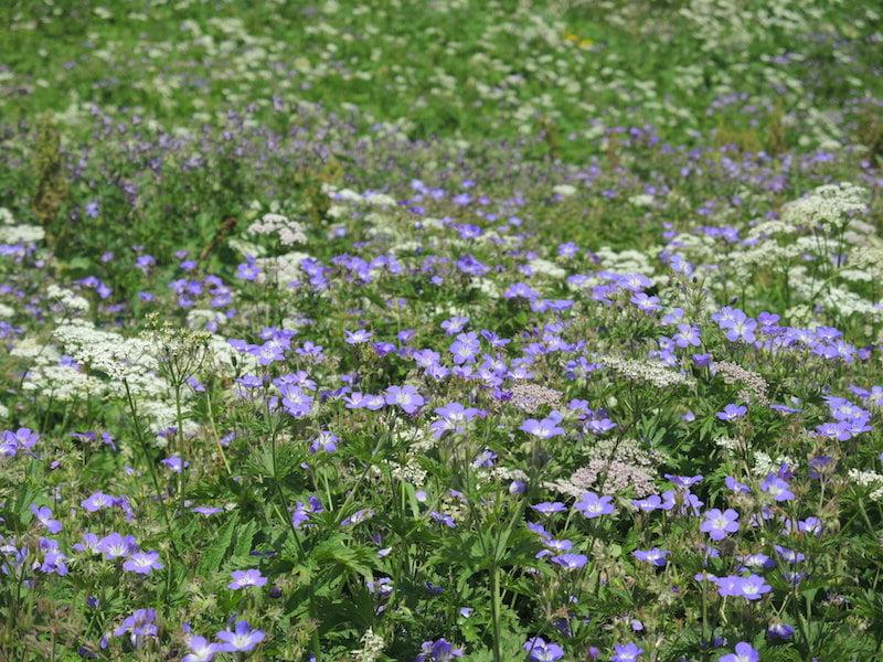 Geranium meadow