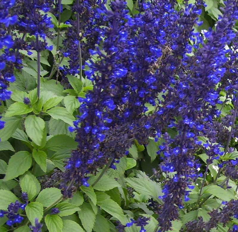 Salvia 'Mystic Spires', one of the colourful flowering plants in the Swan St planting