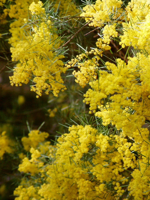 Acacia boormanii 'Gold Tips' for the Swan St planting