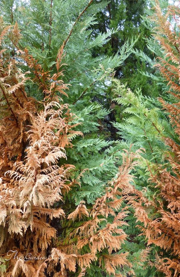 Cypress canker Photo Gloria Ballard from her excellent blog at The Garden Bench