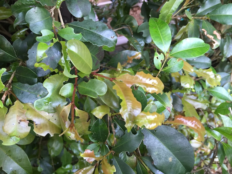 Green strip leaf beetle damage on Syzygium lilly pilly