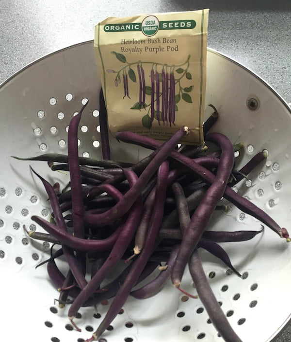 heirloom Royalty Purple Pod are the best bush beans ever! Check out Renee's Garden Seeds for these and lots of other great seeds.