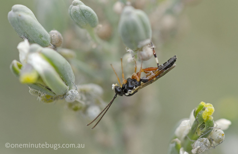 Hover fly larva parasite