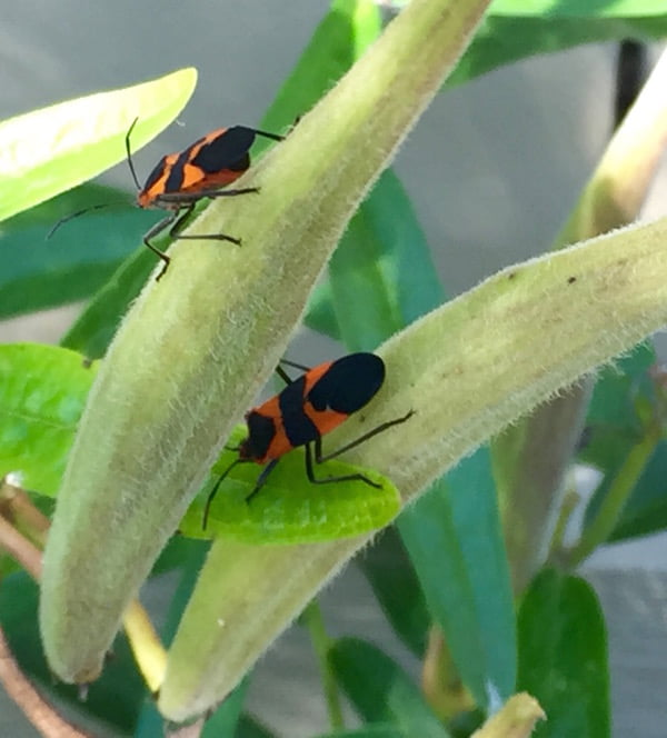 "Milkweed bugs. ""Hello gross little friends!"""