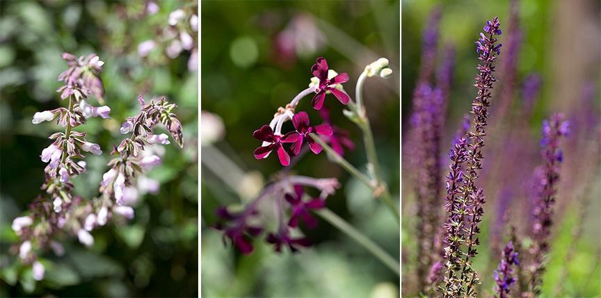 Salvia and perlargonium