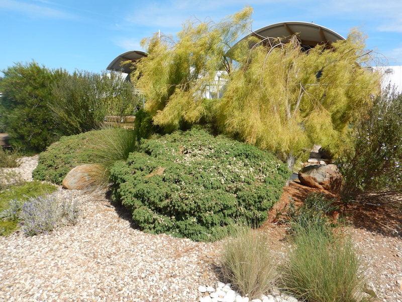 Acacia cognata and Melaleuca incana