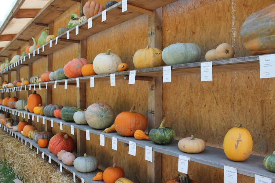 Amazing display of pumpkin variety, each named and where it was bred