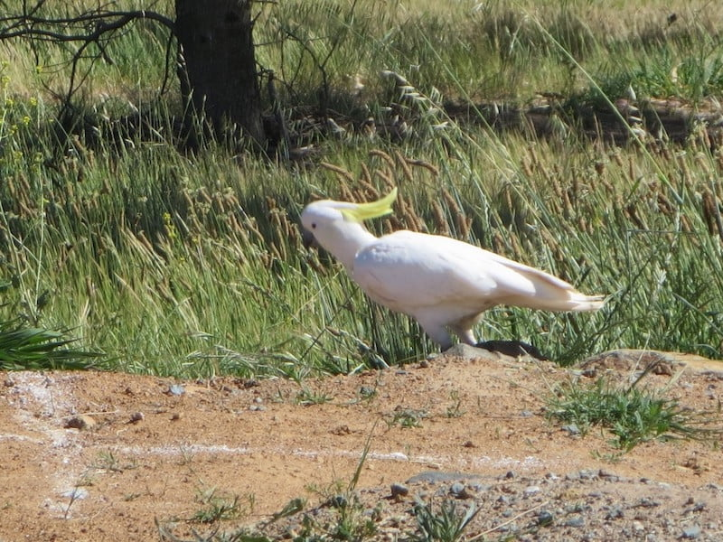 Cockatoo eating seedheads in the new Southern Tablelands Ecosystem Park in the National Arboretum, Canberra ACT