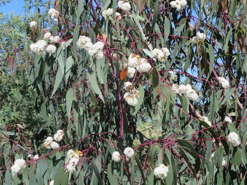 Eucalyptus dalrympleana in the new Southern Tablelands Ecosystem Park in the National Arboretum, Canberra ACT