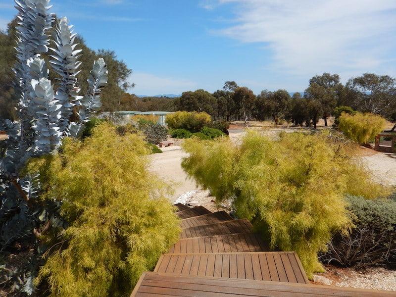 Eucalyptus macrocarpa and golden Acacia cognata 'Lime Magik'