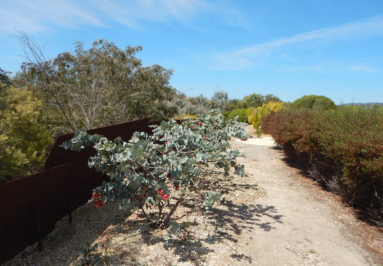 Eucalyptus rhodantha
