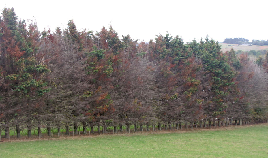 Fungus causing dieback on conifer windbreaks can be spread by hedge-cutting contractors