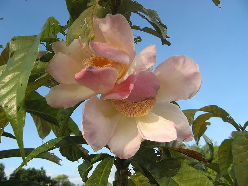 Gustavia superba flowers Photo Meneerke bloem