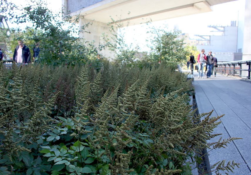 High Line NYC: Astilbe chinensis flowering heads against the overhang of the Standard Hotel