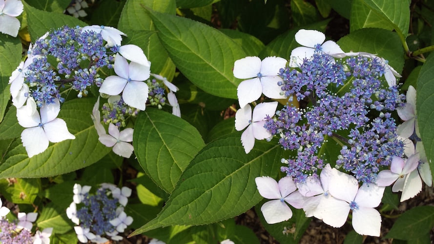 One of my favourites, spectacular hydrangea