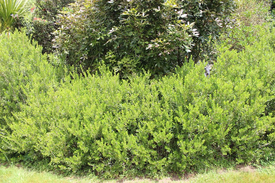 Melicytus obovatus is much better than buxus for hedging