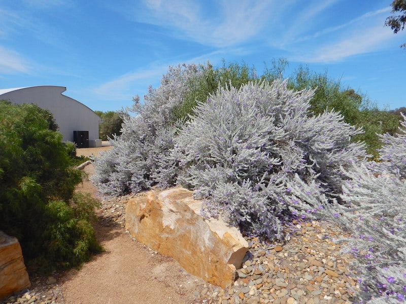 Mounded garden beds planted with silver Eremophila nivea