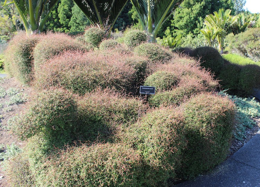 Muehlenbeckia astonii trimmed into ducks - poor creatures!