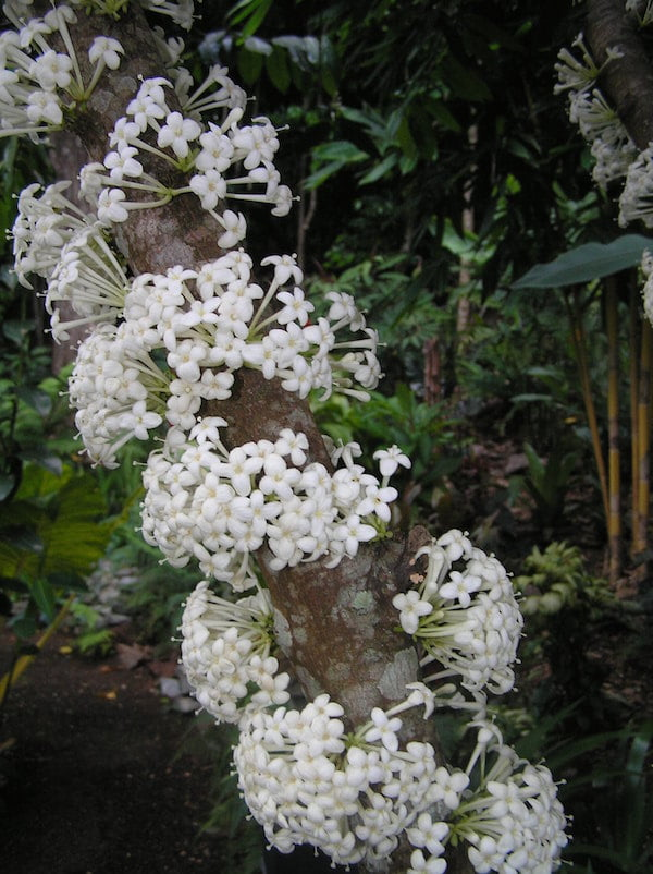 Phaleria clerodendron flowers