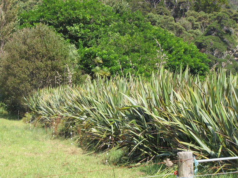 Selected forms of Phormium make good windbreaks and barrier hedges