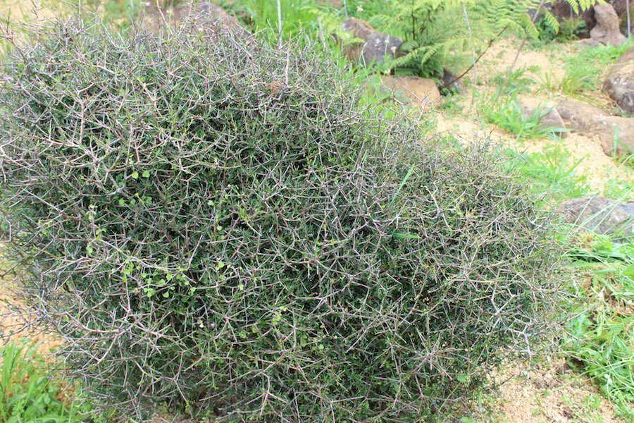 My favourite - Pittosporum anomalum