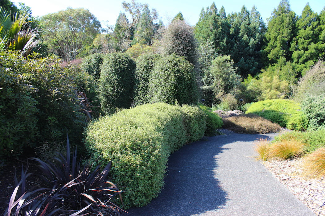 Pittosporum trimmed as a neat hedge with columns of Pseudopanax lessonii behind
