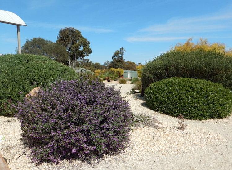 Purple Prostanthera rotundifolia