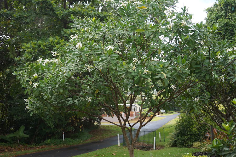 Tabernaemontana pachysiphon tree growing on our naturestrip
