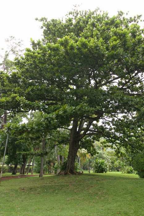 Terminalia catappa tree on Réunion Island