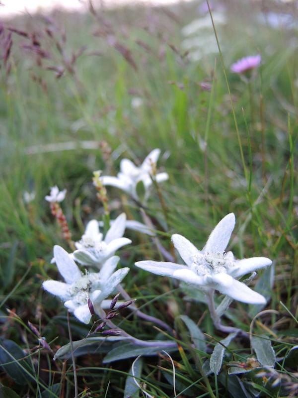 Leontopodium alpinum - eidelweiss