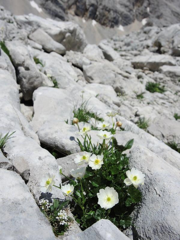 Ranunculus bilobus