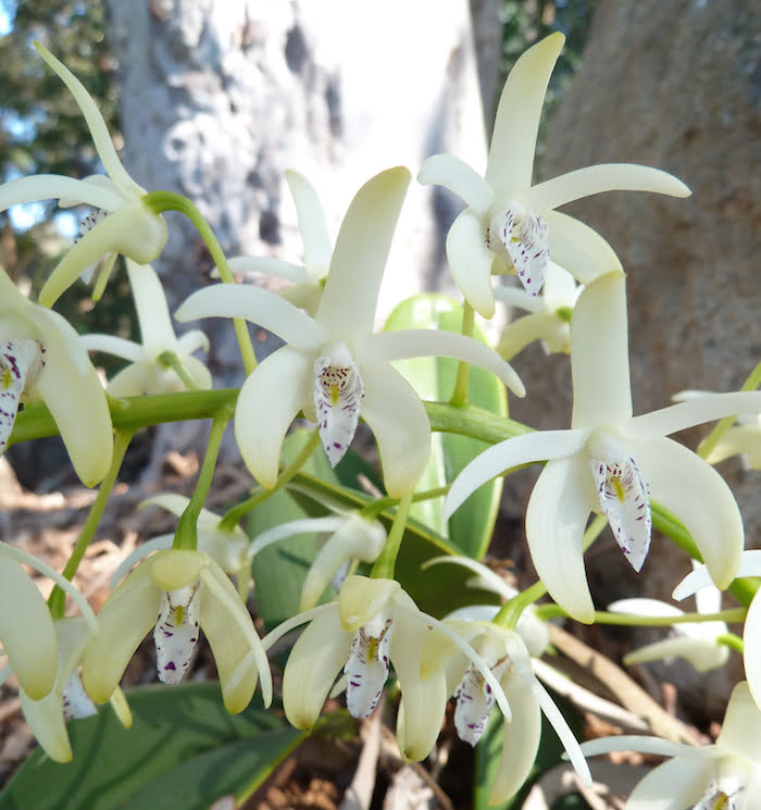 Close up of Thelychiton speciosus, growing under trees in the Hunter Valley. Photo Heather Miles