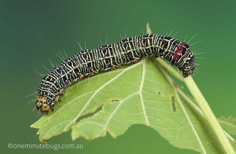 Grapevine Moth Larva Photo Denis Crawford Gardendrum
