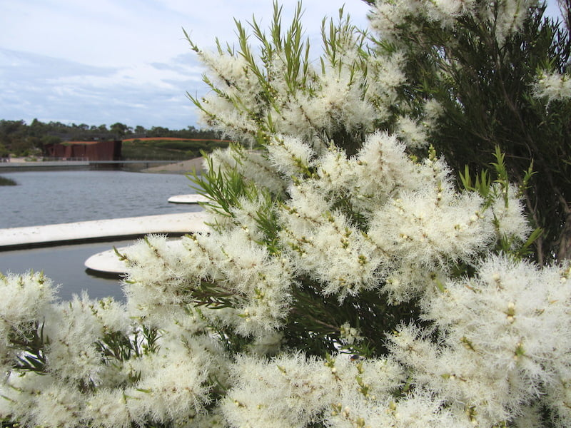 Melaleuca linariifolia at Melaleuca Spits. Photo W. Worboys