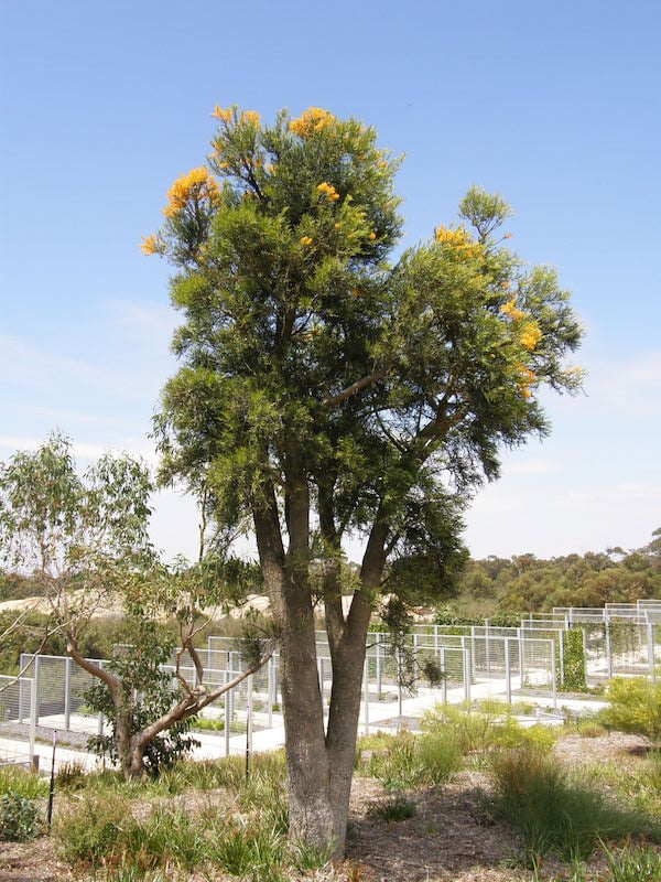 Nuytsia floribunda on Howson Hill in the Australian Garden at Cranbourne, flowering last January