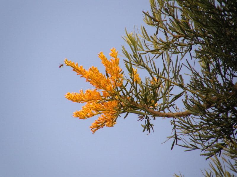 Nuytsia floribunda in flower