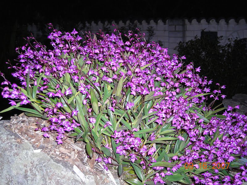 Thelychiton kingianus (formerly Dendrobium kingianum), is commonly known as the Pink Rock Orchid. It has masses of beautiful regally coloured flowers in late winter and early spring. Photo: Jeff Howes