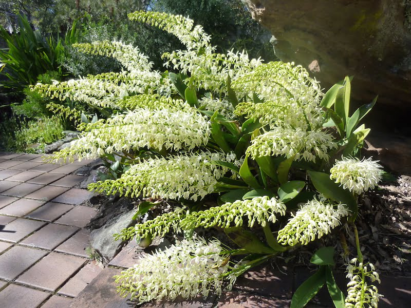 Thelychiton speciosus, formerly Dendrobium speciosum, growing happily in the courtyard of our Westleigh home. Photo: Jeff Howes